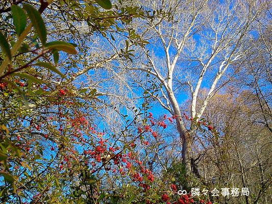 ★ 赤い実と白い木 於: アリゾナ州セドナ
