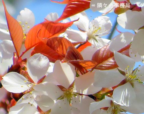 ∞  山桜