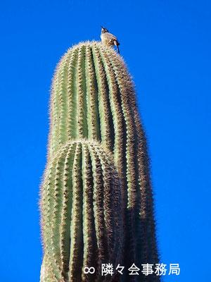 ∞  於: アリゾナ州パラダイスヴァレー サワロカクタスと小鳥♥