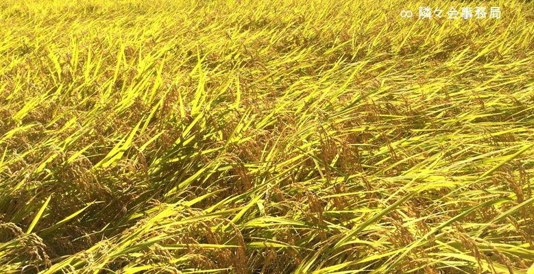 ∞  黄金色に実った御米