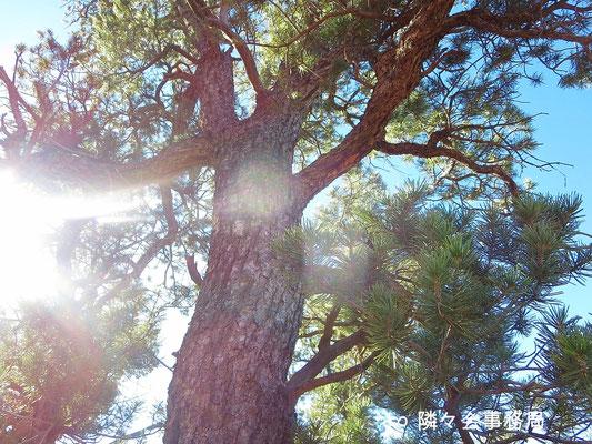 ∞  松の木  於: アリゾナ州セドナ カテドラルロック