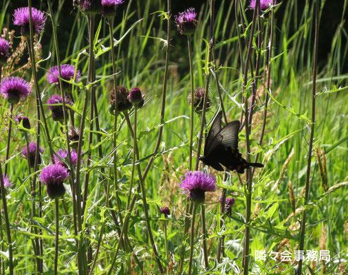 ∞ 蝶とノアザミ