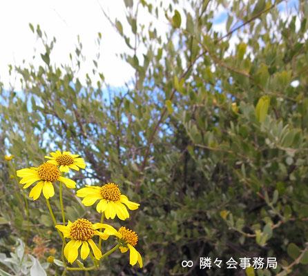 ∞ Blittle Bushと原種ホホバ(純粋種Sayuri原種ホホバ) 於: アリゾナ州ハクアハラヴァレー