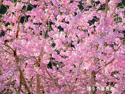 ∞  しだれ桜