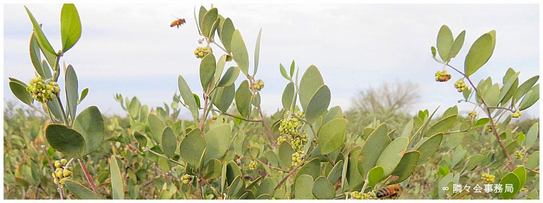 ∞ 平年より温暖の為、日中は30℃近くも気温が上がり、3月の気候が続きました。ミツバチも原種ホホバの御花に行き交っていました。
