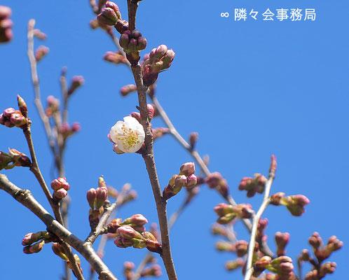 ∞ 桜桃・サクランボ