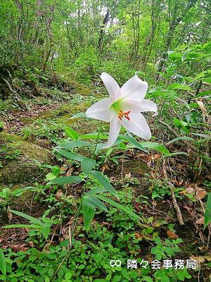 ★ 日本原産 原種ユリ(ササユリ・笹百合) 学名:Lilium japonicum