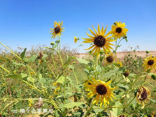 ∞  ひまわり原種 於: アリゾナ州ハクアハラヴァレー