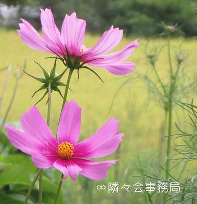 ∞ 秋桜と田園