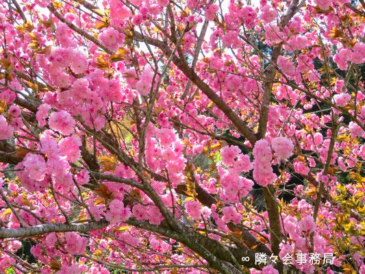 ∞  八重桜