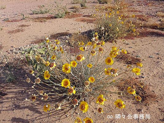 ∞  Desert Marigold Native Wildflower 於: アリゾナ州ハクアハラヴァレー