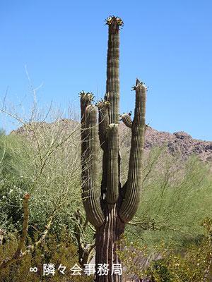 ∞ サワロカクタス アリゾナ州パラダイスヴァレー