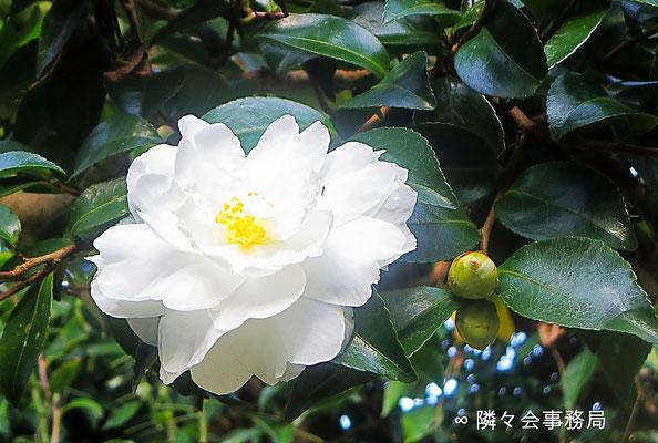 ∞ 山茶花