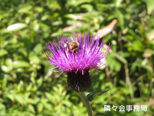 ∞ 日本ミツバチとノアザミ