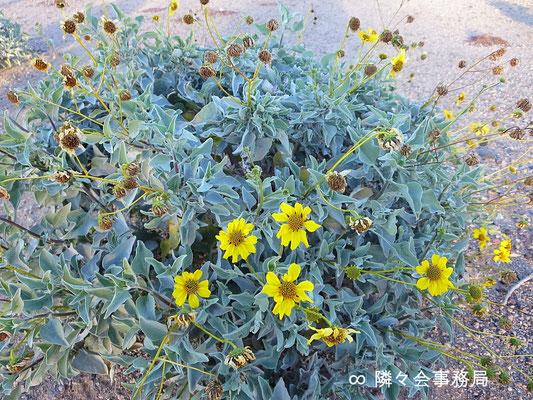 ∞  野草小菊 Blittle Bush ひまわりの仲間です。一年中咲き誇る黄色いお花です♥ 於: アリゾナ州ハクアハラヴァレー