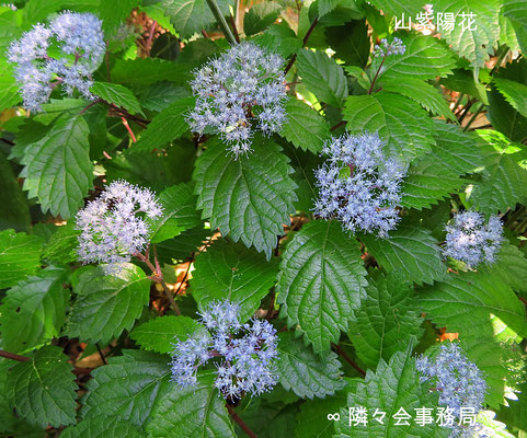 ∞ SpiritualBeauty 山紫陽花