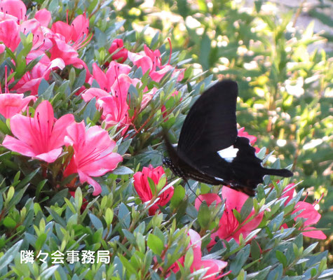 ∞ 蝶とツツジ