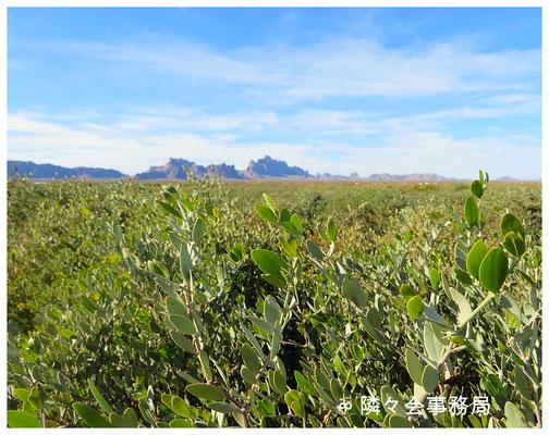 ∞ アリゾナ州ハクアハラヴァレーの原種ホホバ(純粋種Sayuri原種ホホバ)とイーグルテールマウンテン