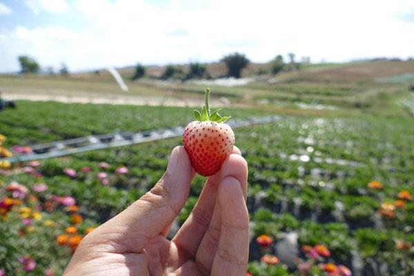 Die besten Erdbeeren Thailands