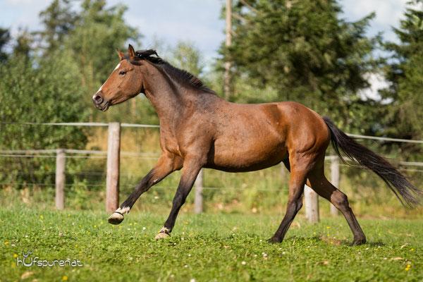 Pferdefotoshooting Haflo-Araber-Warmblut Mix Stute