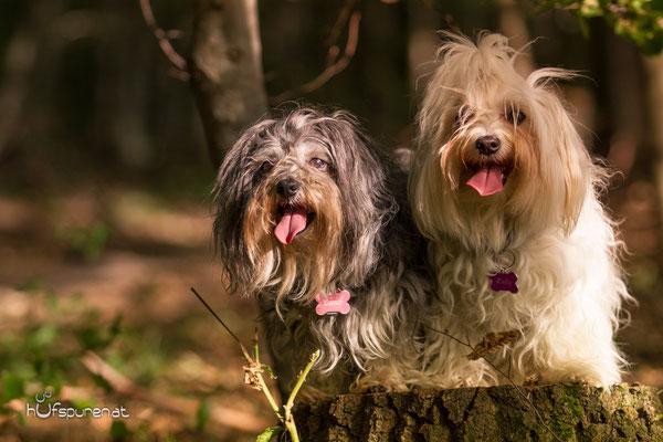 Hundefotoshooting Winerwald: Havaneser, Malteser