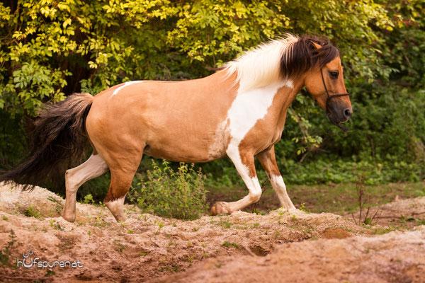 Pferdefotoshooting Lewitzer Trab auf Koppel