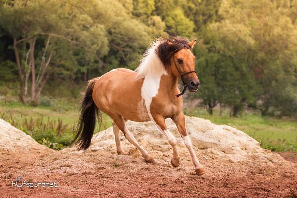 Pferdefotoshooting Lewitzer Galopp auf Koppel