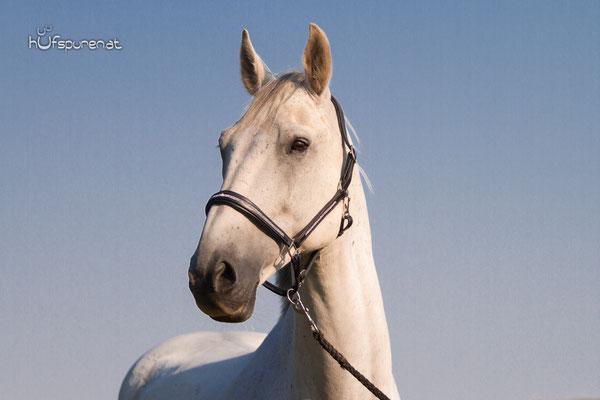 Pferdefotoshooting Mostviertel, Niederösterreich mit Springpferde im Portrait