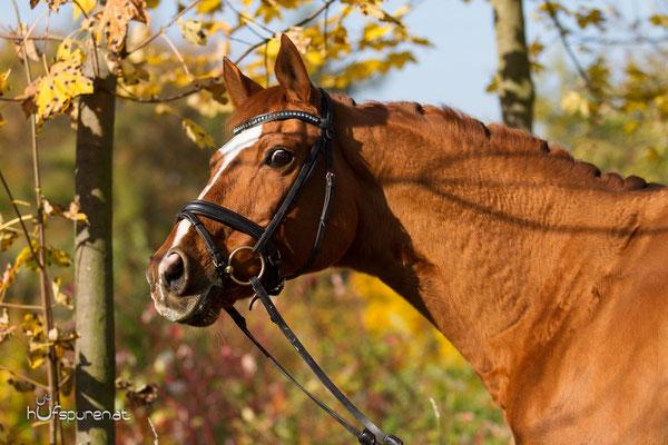 Pferdefotoshooting Trakehner Österreich