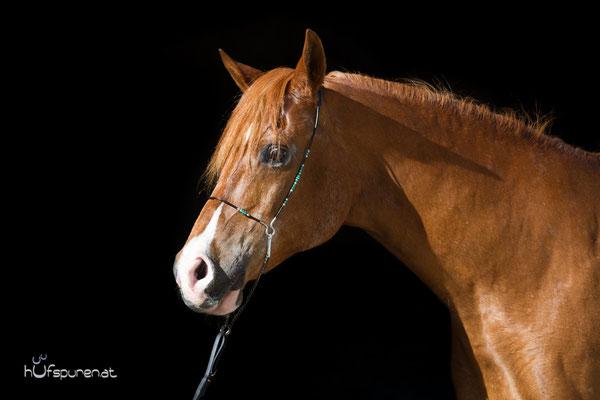 Pferdefotoshooting schwarzer Hintergrund Araber Oldie