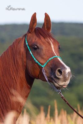 Hufspuren Pferdefotoshooting Arabisches Vollblut Santiago
