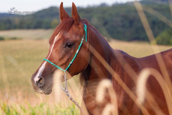 Pferdefotoshooting Arabisches Vollblut Santiago in Niederösterreich