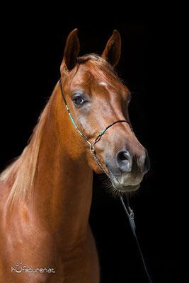 Pferdefotoshootibg schwarzer Hintergrund Araber Jungpferd