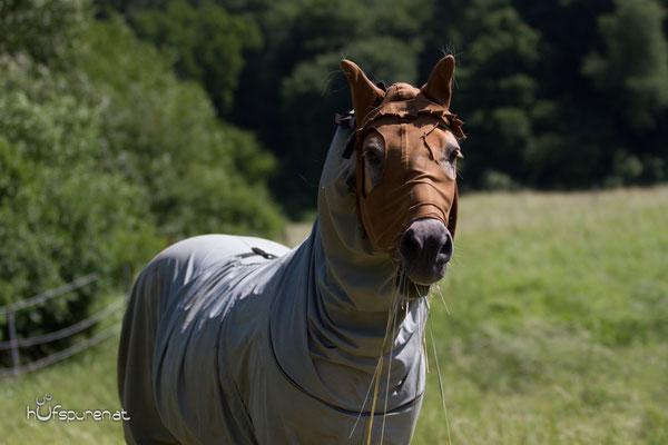 Das Ekzemerpferd Haflinger Anni mit ihrer Decke