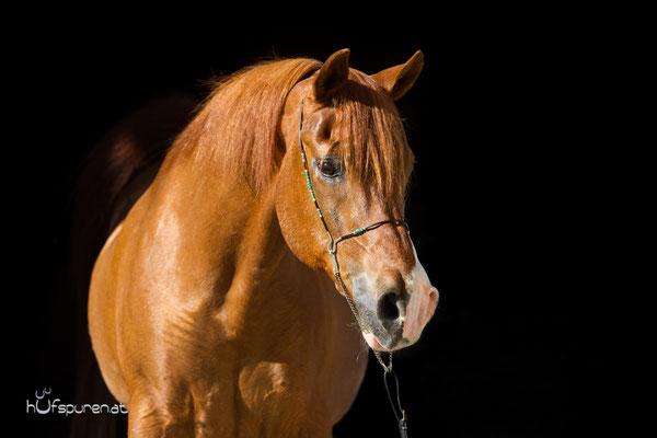 Pferdefotoshootibg schwarzer Hintergrund Araber Oldie