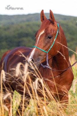 Pferdefotoshooting Arabisches Vollblut Santiago auf dem Feld