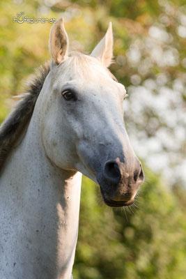 Pferdefotoshooting Mostviertel, Niederösterreich mit Schimmel Tarik