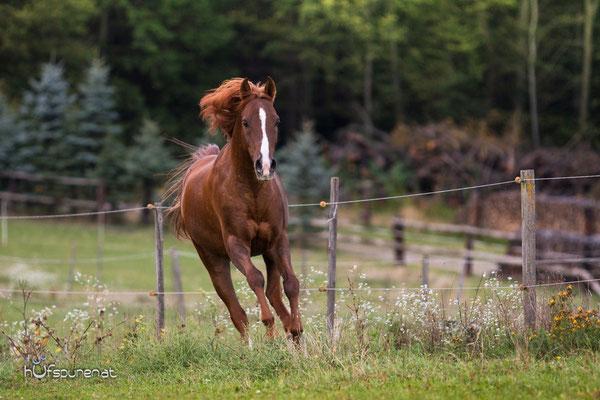 Pferdefotoshooting Wienerwald: Deitsches Reitpony