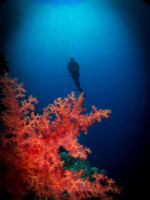 Gorgonie am Panorama Reef