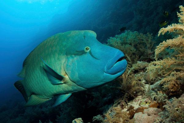 Napoleonfisch am Panoram Reef
