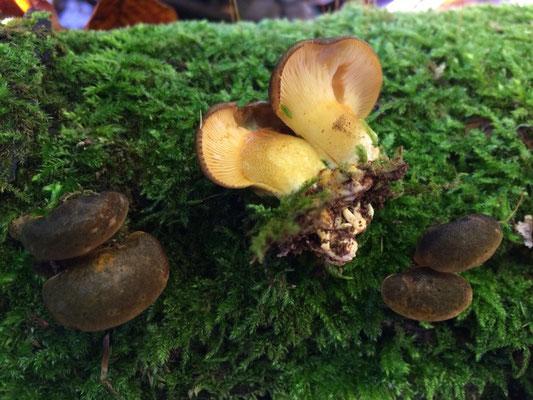 Gelbstieliger Muschelseitling (Panellus serotinus, Syn.: Sarcomyxa serotina und Pleurotus serotinus)
