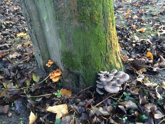 Austernseitlinge und Samtfußrüblinge wachsen hier an einem Baum - wie praktisch!