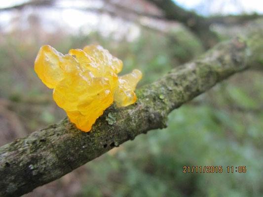 Goldgelber Zitterling, Tremella mesenterica