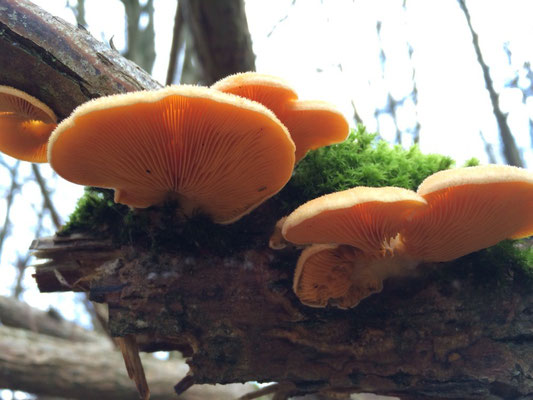 Orange-Seitling, Phyllotopsis nidulans