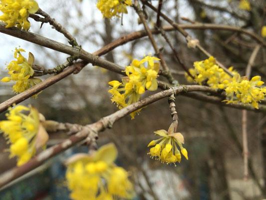 Kornelkirschen-Blüten