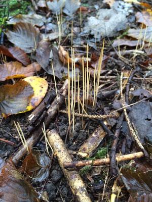 Das Fadenkeulchen, Makrotyphula spec, ca. 5-8 cm, übersät den Auwaldboden