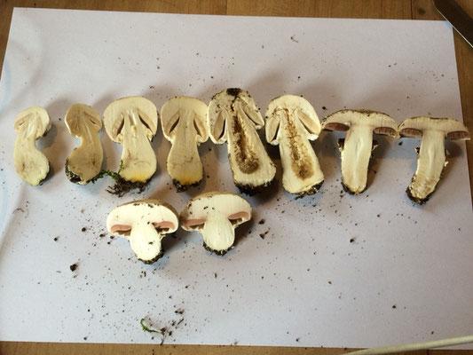 5 Champignons, oben von links drei Karbolegerlinge (jeweils aufgeschnitten), dann 2 andere Arten