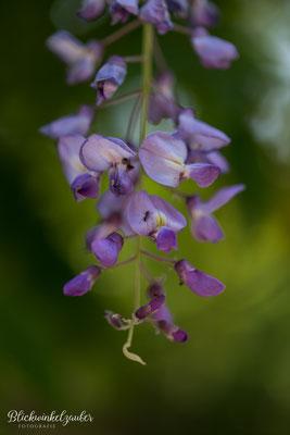 Blauregen mit Ameise
