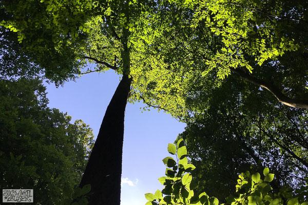 Blick hinauf zum Blätterdach