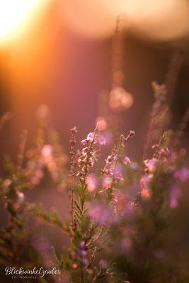 Strahlend schöne Heideblüte